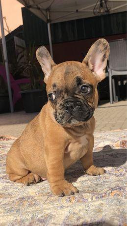 Entrega Imediata Bulldog Frances Exótico Mini! Olhos verdes! Merle !