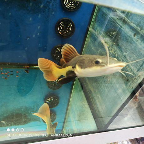 Red Tail catfish