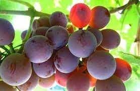 Виноград  сладкий спелый