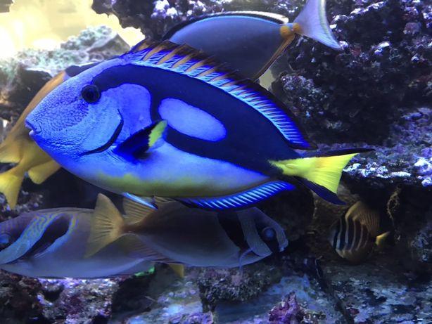 Pokolec Paracanthurus akwarium morskie