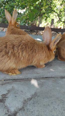 Продам кроликів Бургундський червоний