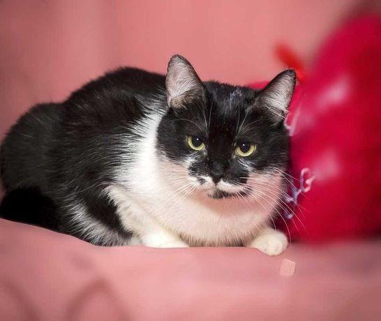 Черно-белая красивая кошка Бьянка, стерилизована, 1 год