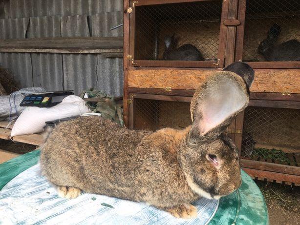 Кролі породи Фландр,Сокирянский рн. Романківці
