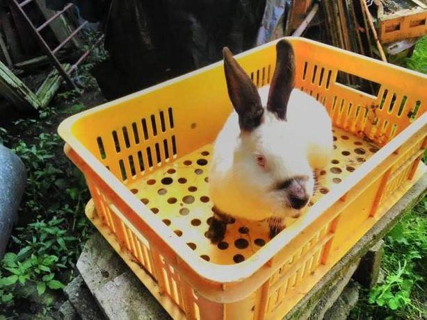 Para królików kalifornijskich