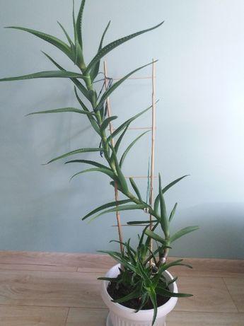 Aloes - bardzo duża sadzonka, roślina
