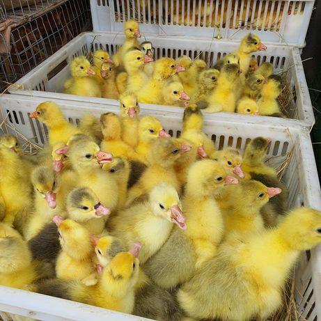 Гусята Мулард бройлер индюшата Биг6 мясо-яичные цыплята Утята куры
