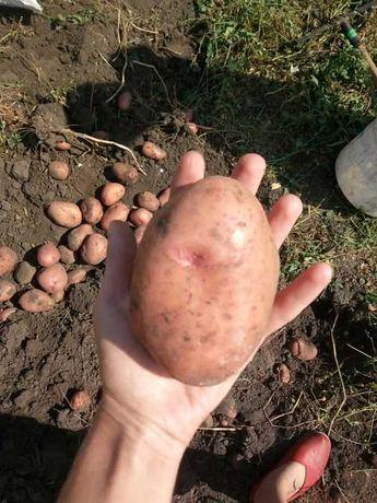 Сортова картопля