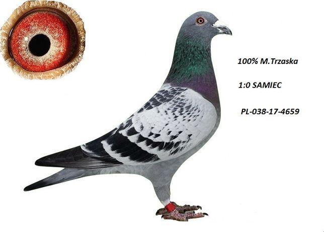 Gołębie Młode 2020 od bardzo dobrego hodowcy.