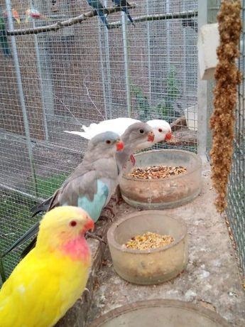 Попугай Александрины (голубошапочный) роскошный