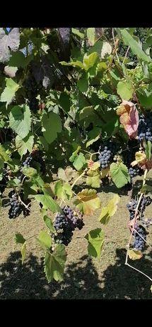 Uvas: tintas vinhão e brancas