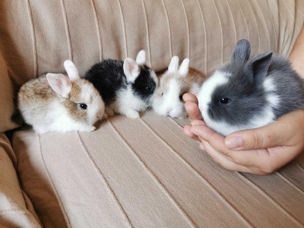 KIT completo coelhos anões minitoy e mini holandês muito dóceis