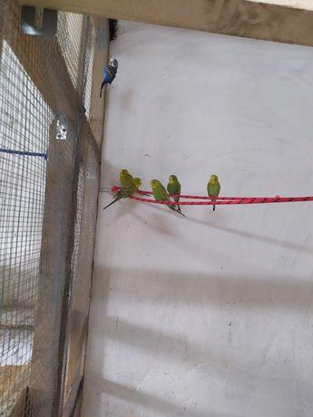 Sprzedam papugi faliste.