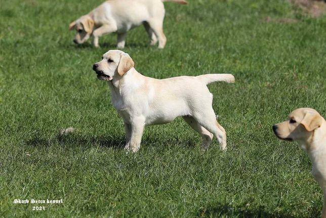 Labrador, szczeniaki FCI