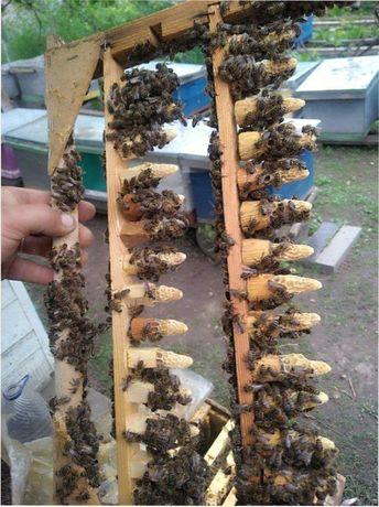 2021г. 5+5=11 (Интересно? ) Бджолині матки. Плодные, меченые CARNIKA.