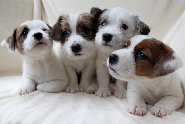 Купить щенка Джек Рассел Терьера!