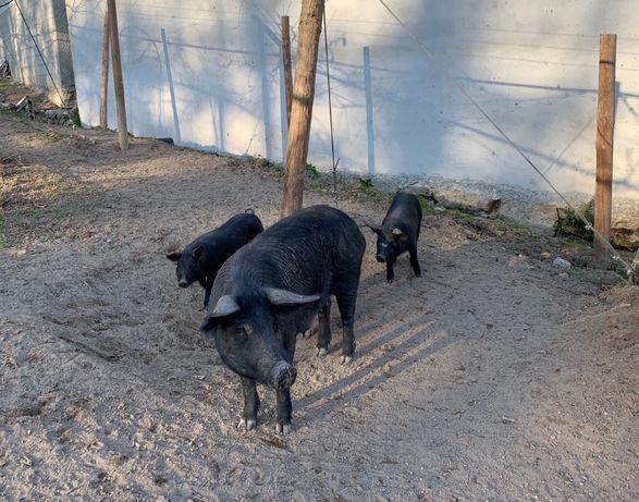 Vendo leitões porco preto puros pais à vista