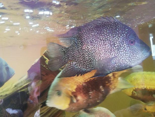 Pielegnica perłowa akwarystyka vieja rybki akwarium