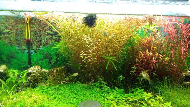 Roslina akwariowa rotala green red