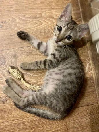 Отдам котёнка лесного окраса, девочка , 1,5 месяца