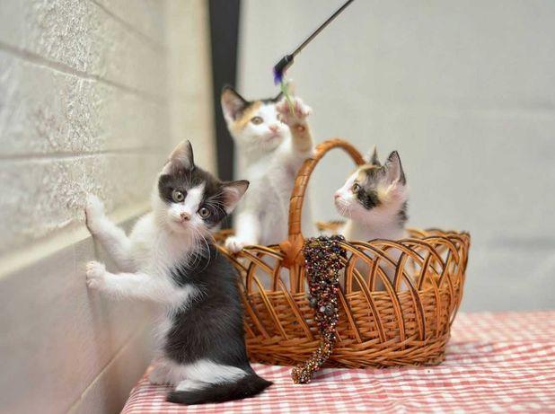 отдам котят, мальчики, девочка, 2,5 месяца