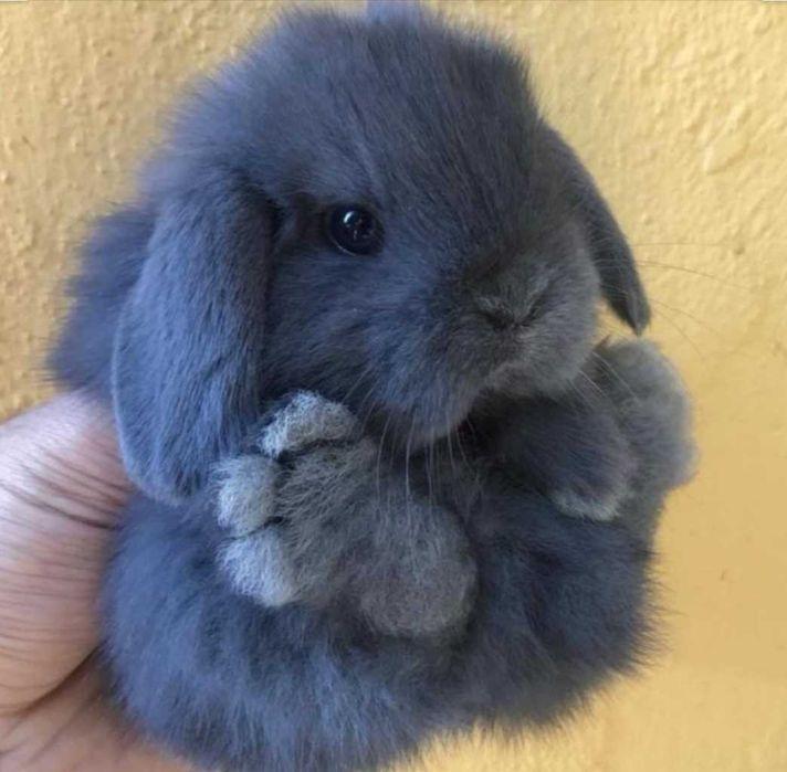 KIT completo coelhos anões orelhudos(mini Lop) Odivelas - imagem 1