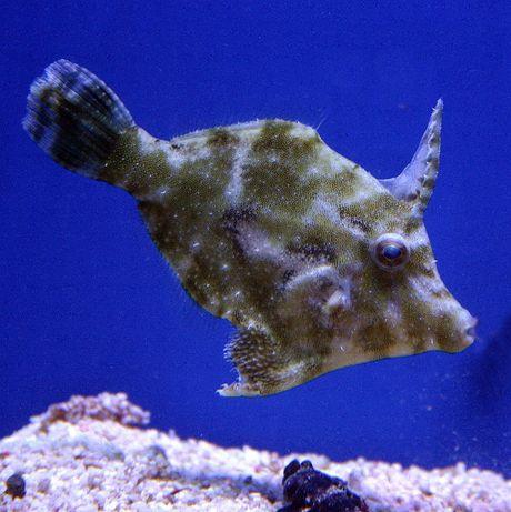 Acreichthys tomentosus, Brzydal do akwarium morskiego