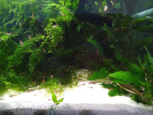 Plantas Echinodorus Bleheri e Musgo Java para aquários