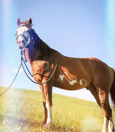 STANÓWKA ogierem American Paint Horse