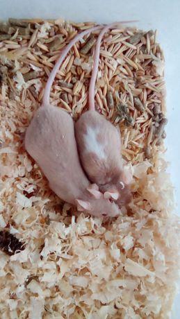 Мышки декоративные