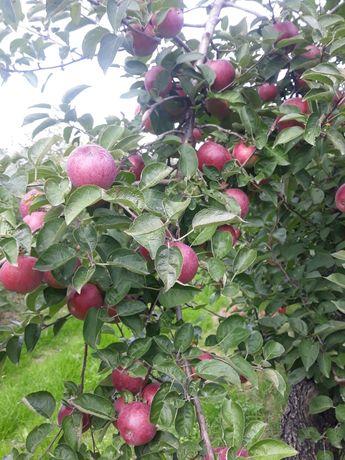 Sprzedam ekologiczne jabłka bez glifosadu