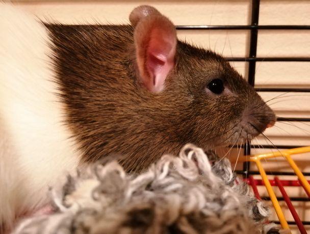 Oddam Szczurka w dobre ręce