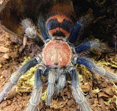 Самка паука птицееда для новичков Davus fasciatus