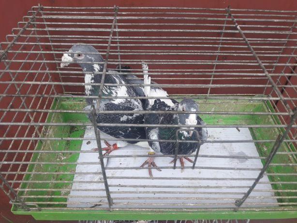 Gołębie staropolskie - para 2