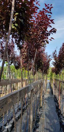 Prunus cerasifera 'Pissardii' śliwa wiśniowa 'Pissardii'