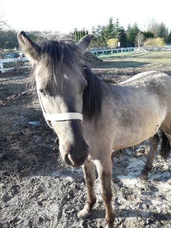 Sprzedam lub zamienię na przyczepkę do koni. Koń polski - klacz
