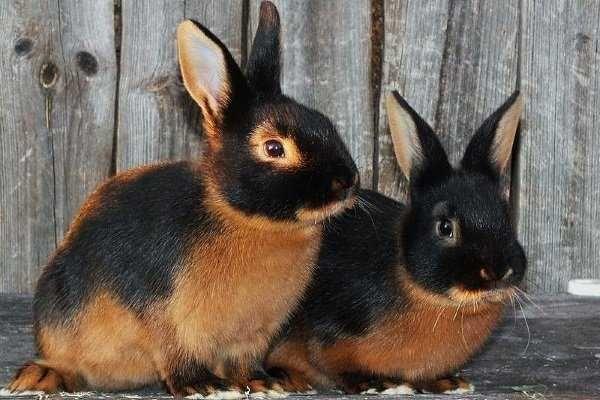 Кролик, порода огненно-черный, кроль, возраст 4 месяца