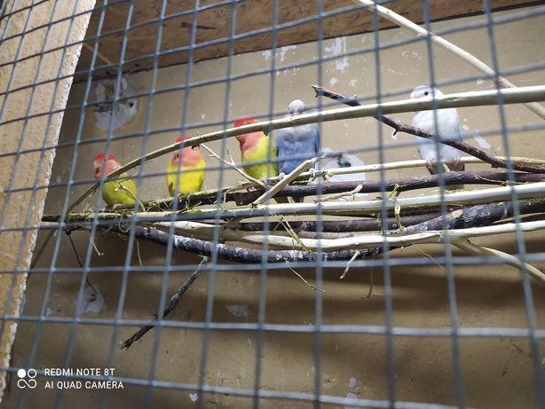 Ptaki nierozłączki