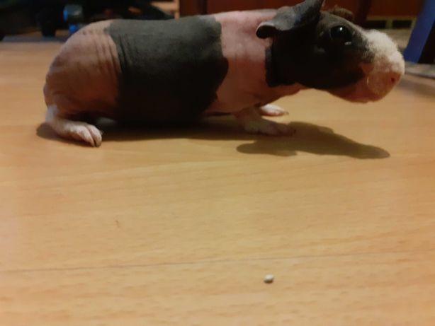 Świnka morska rasy skinny-samiec