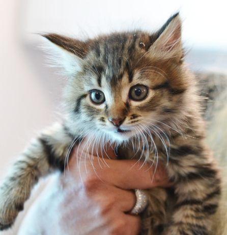 Милое создание, котенок-девочка Мика (2 мес.) в шубке окраса табби!