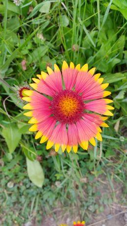 Гайлардия, многолетник, семена