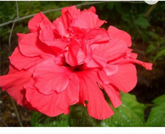 Продам китайську розу ,або кімнатний гібіскус