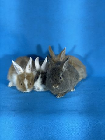 Декоративні кролики декоративные веслоухие