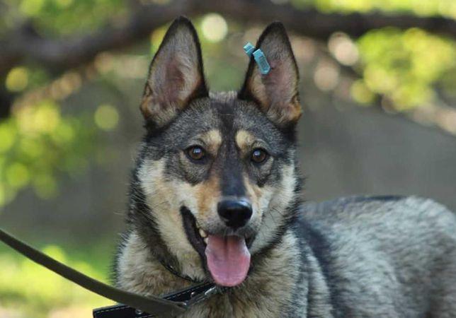 Активная собака Ариша, 10-11 мес, средннго размера, стерилизована