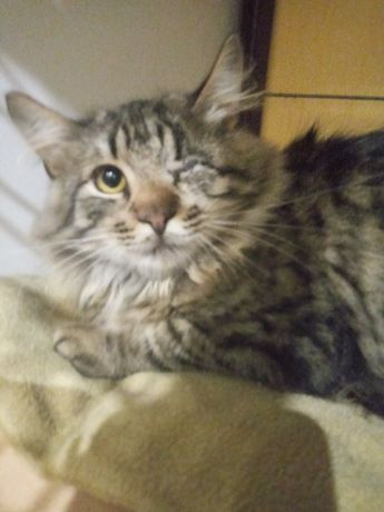 Котик-підліток, вакцинований, стерилізований