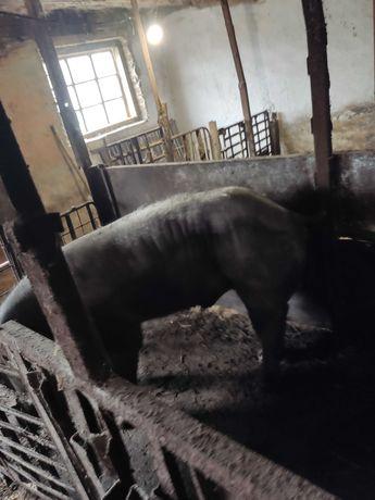 Свинья кнур 10000 грн