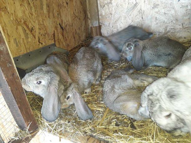 Barany francuskie szare- Bfs króliki