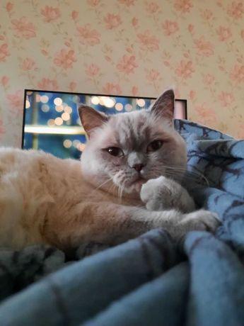 Вязка котов скоттиш страйт и скоттиш фолд