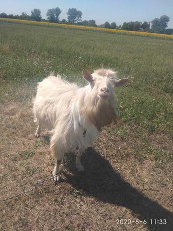 Вязка Коз цена 60грн также продажа козла