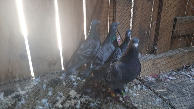 Gołębie pocztowe różne kolory