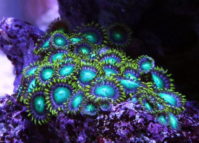 Zoanthus radioactive dragon eye akwarium morskie szczepki wysyłka